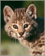 Leopardpaw*