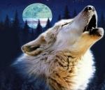 الذئب الشجاع