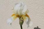 Iris37
