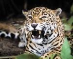 Jaguar Huasteco