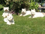 Adoption des terriers ecossais westie cairn Scottish 3-59