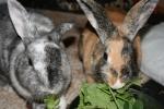 Vegan_bunny