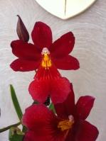 orchidée59