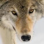 Saarlooswolfhound