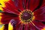BloomingRose