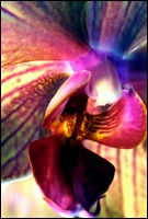 Fragrance des Orchidées
