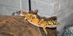 Geckoseb