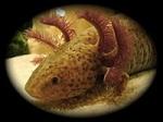 Axolotl-Passion