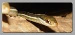 Thamnophissauritus