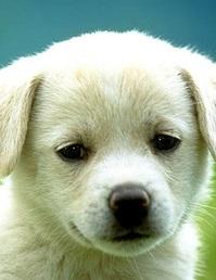 Пёсик белый