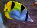 Video Tank,ikan & coral anda share disini 1058-34