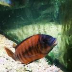 petros_surgeonfish