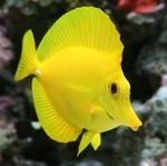 yellowtankaddict