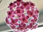 Hoyablüte