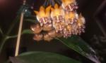 Blumen-Susi