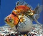 doctorgoldfish