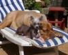 P'tit Rat et sa copine JENNA, dogue de Bordeaux âgée