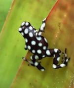 Dendrobatidae 14-17