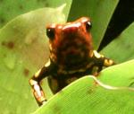 Dendrobatidae 31-70