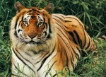 Awesome-Tiger