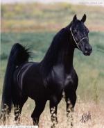 الحصان الاسود
