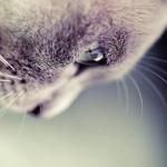 abra_cat