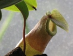 Les Nepenthes 735-23