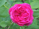 Rosa45