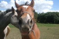 chacha horse