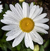 Fleur_US