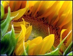 Fleur D`Âge