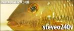 STEVEO240V