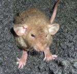 les rats vageurs
