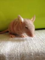 Mlle Rat-Leuse