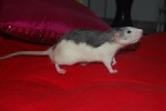 RatCorne~