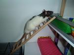 Rat Tatouille