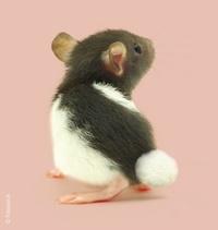 ratonrose