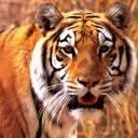 tiger19921992