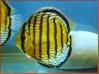 poissons 10_bru10