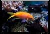 pseudanthias pleurotaenia de mon 840 litres récifal   poisson magnifique et vif mets de la vie dans un aquarium   voici le fiche de ce poisson  http://www.aquajura.com/rubrique,pseudanthias-pleurotaenia,1122371.html