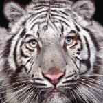 Тигра Хлоя