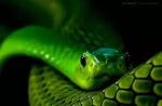 Змеяподколодная