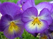 violetta66