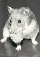 Hamster Volant