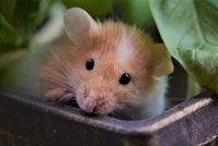 Mice Wanted/Available 1297-72