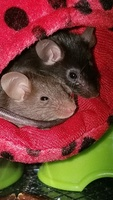 Mice Wanted/Available 1508-43
