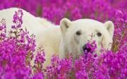 Белый Медведь 59-27