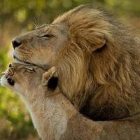 LiondeCoeur