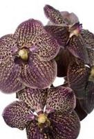 Blackorchids