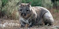 Wombat_70
